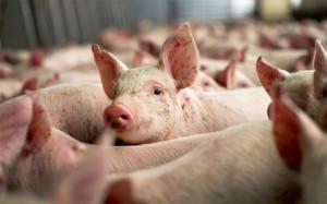 ijunskij-eksport-svininy